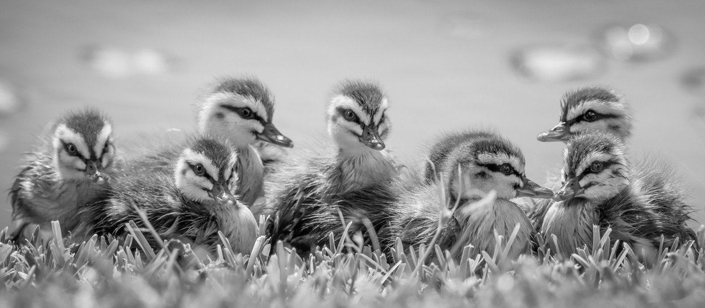 Rosemarie Edwards   Little ducklings - MERIT