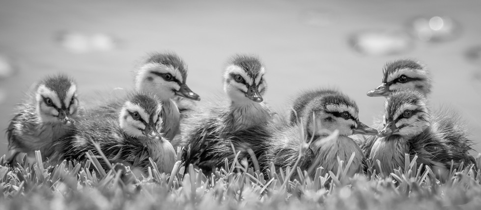 Rosemarie Edwards | Little ducklings - MERIT