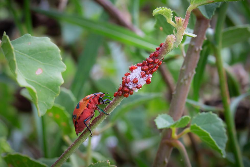 John Abbott -Harlinquin Beetles