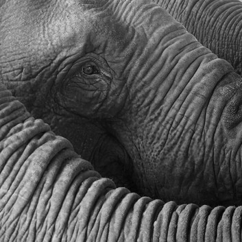 Lynette Webb - Elephas Maximus HONOUR