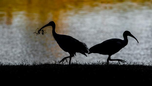 John Abbott - Ibis in the Morning (HONOUR)