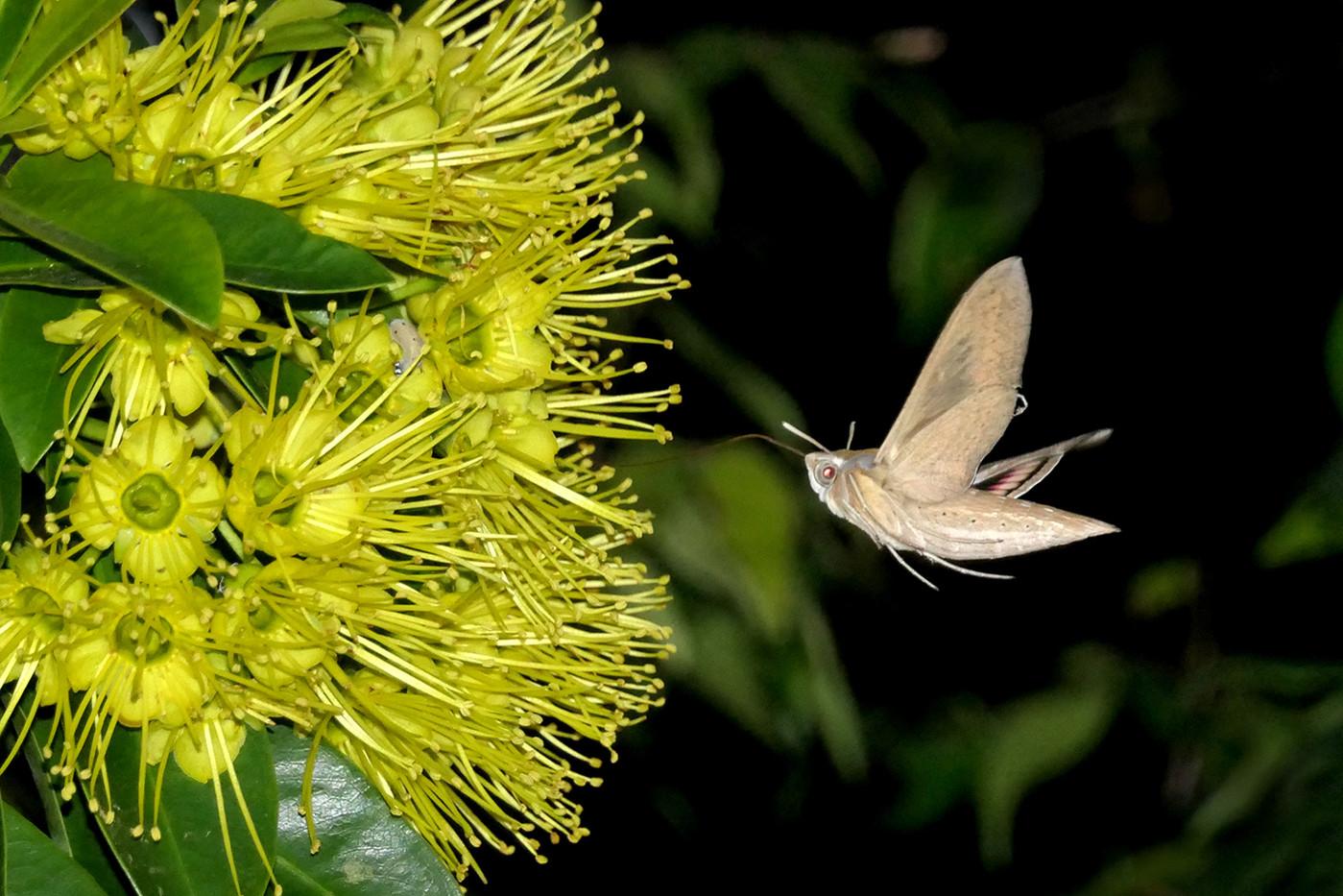 Di Wyatt - Hummingbird Moth MERIT
