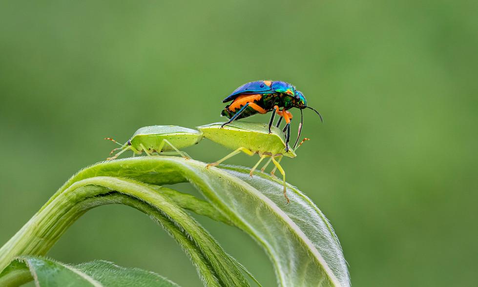 John Abbott - Green Bugs - MERIT