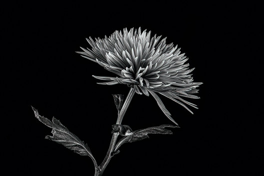 Rosemarie Edwards - Black and white bloom HONOUR