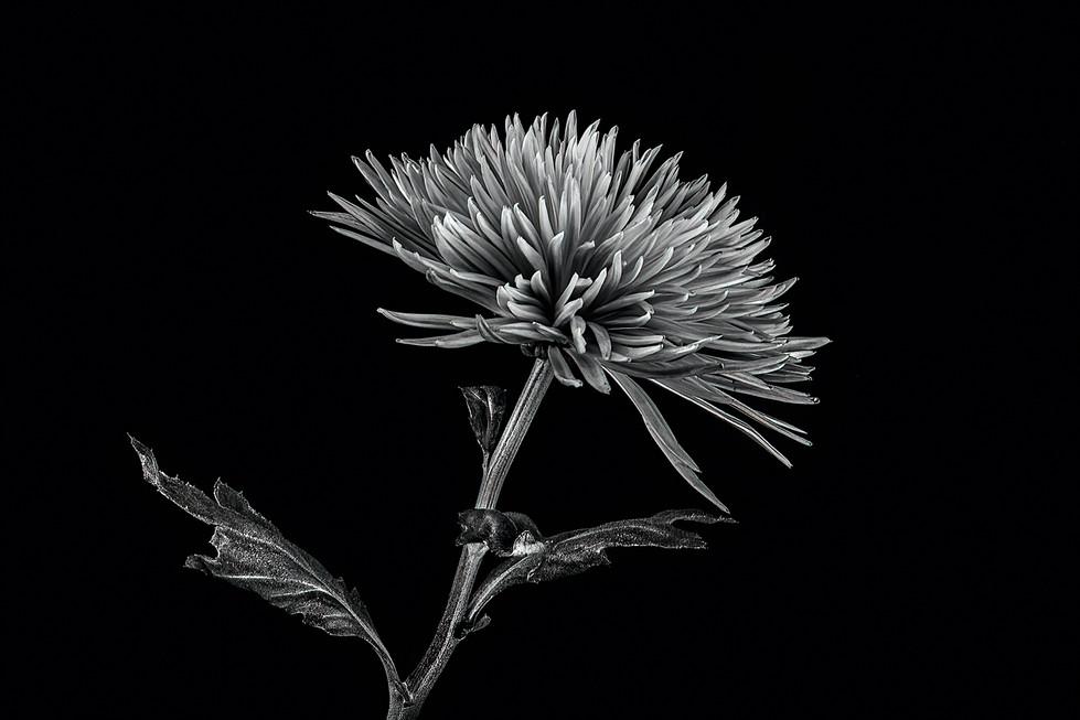 Rosemarie Edwards - Black and white bloom HONOUR