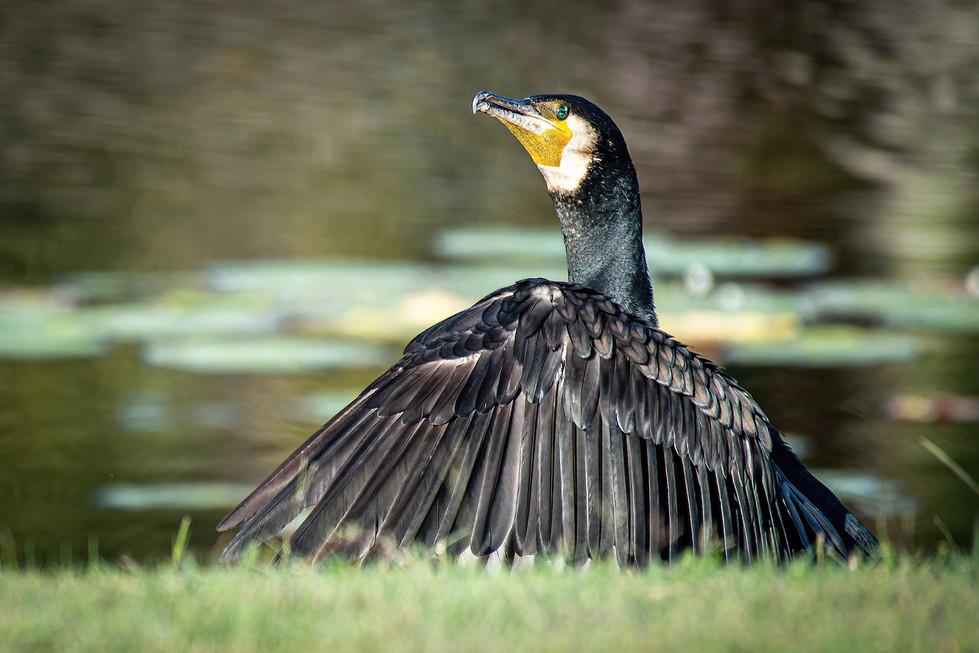 Cormorant by the Lake - Cormorant by the lake MERIT