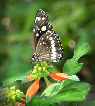 Di Wyatt - Butterfly HONOUR