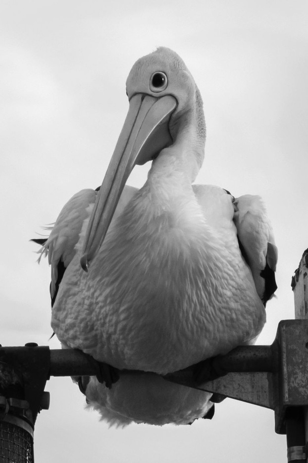 Celina Hurworth   Perched Pelican