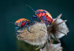 Harlequin Beetle Champion