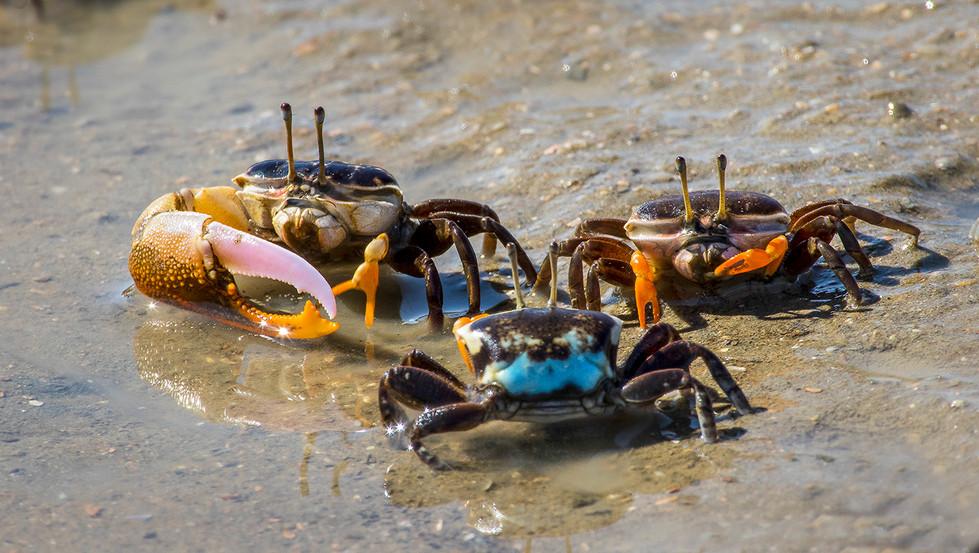 John Abbott | Crabs - HONOUR