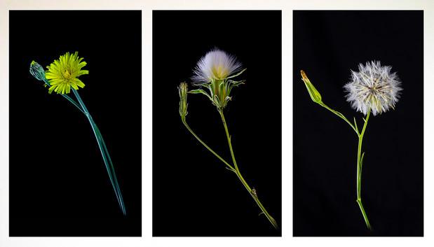 John Abbott - Dandelion's Three HONOUR.jpg