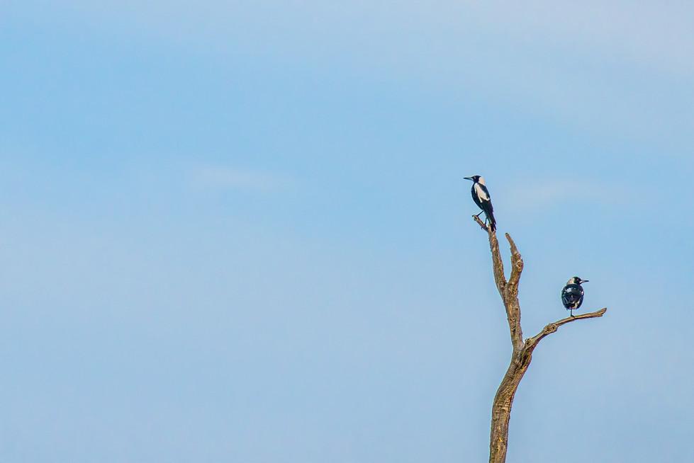 Rosemarie Edwards - Two birds in a tree MERIT
