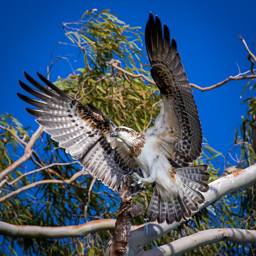 Warren Thomson - Wings of a eagle MERIT