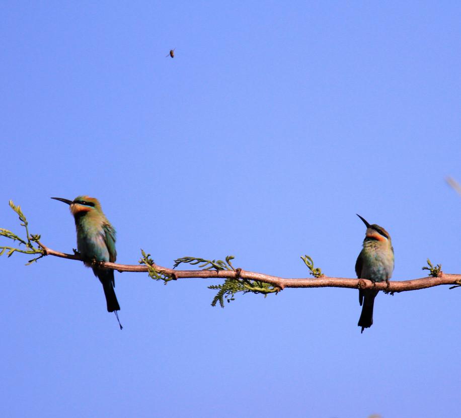 Graeme World - bee-eaters MERIT