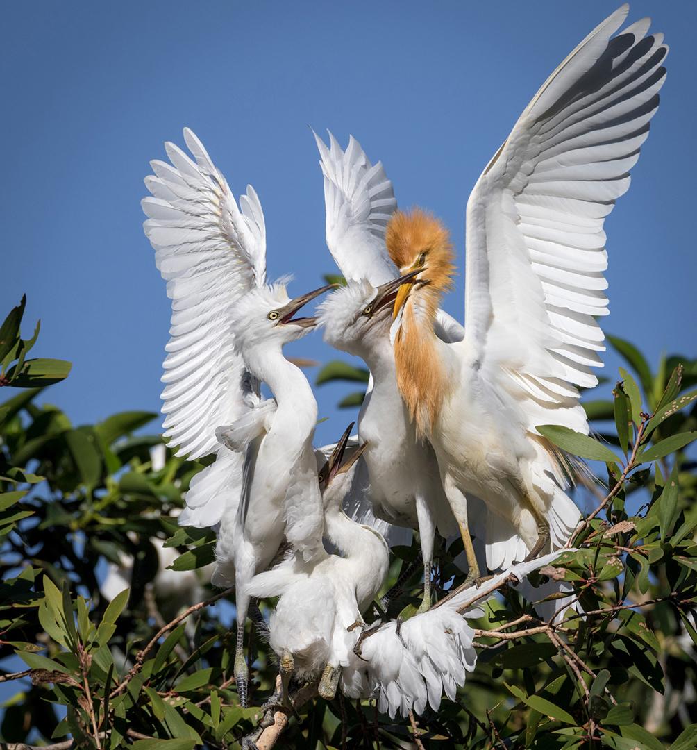 NA_5_19_egrets cattle feeding time