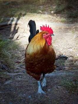 Robert Virgin - Haruru Rooster MERIT.jpg