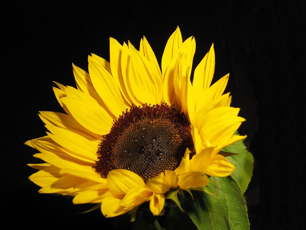 Di Wyatt-Sunflower MERIT