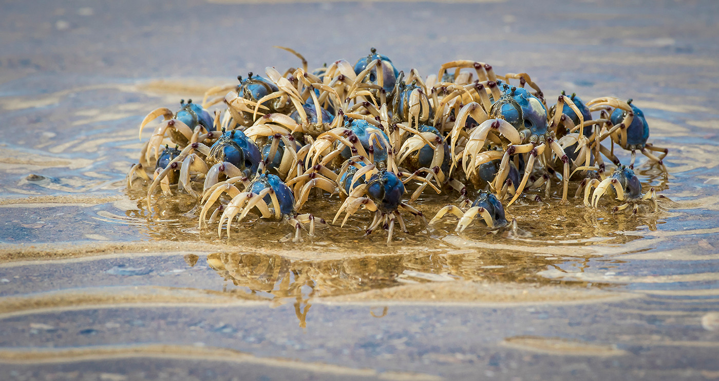 John Abbott   Soldier Crabs - HONOUR