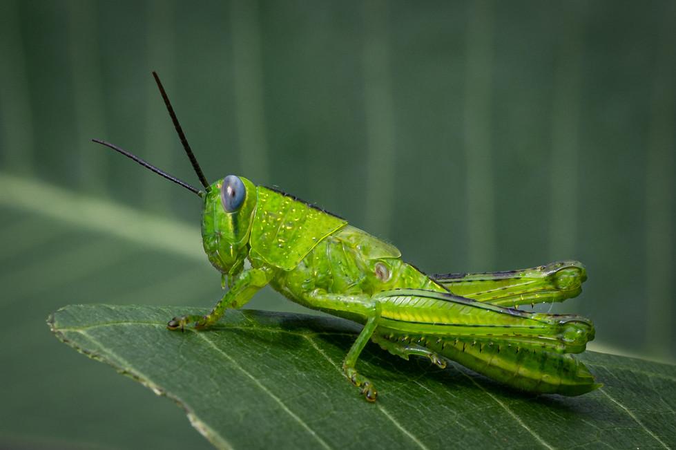 Rosemarie Edwards | Grasshopper green - HONOUR