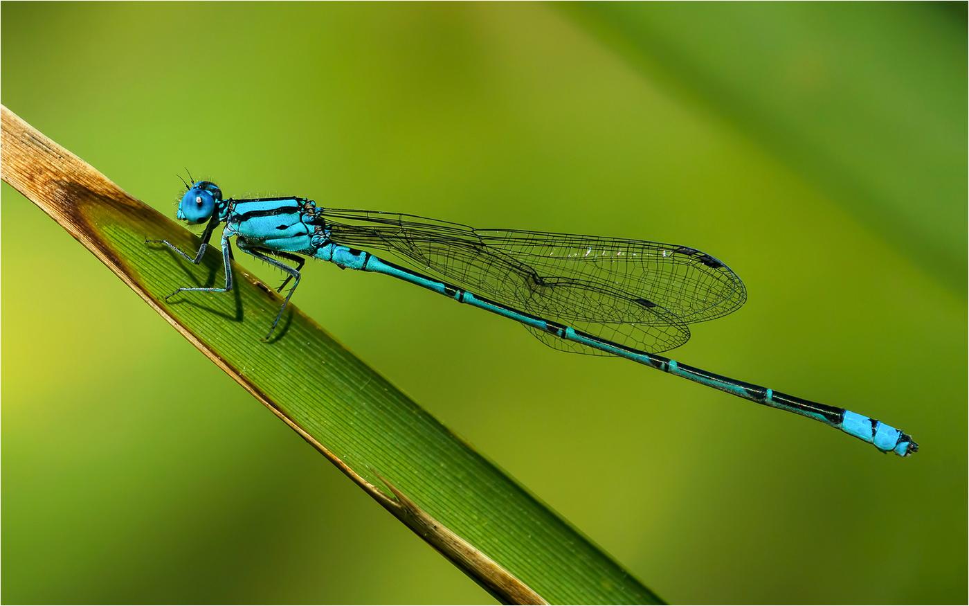 NA_3_19_the blue damsel