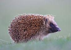 hedgehog whalsay chloe irvine.jpg