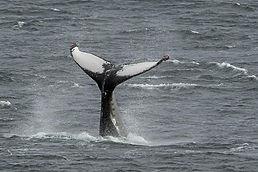 humpback gulberwick17 jn.jpg