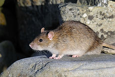 Brown Rat, Boddam, John Moncrieff