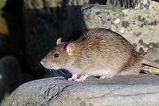 Brown Rat, Boddam, John Moncrieff