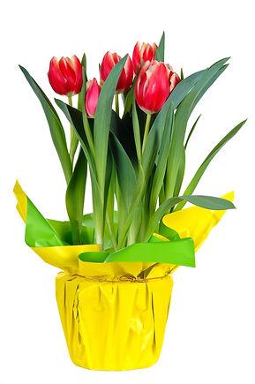 Tulips.jpeg
