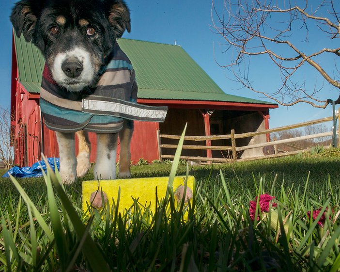 Dog, barn, yellow, flowers, tarp, blue sky, tree, grass, fence
