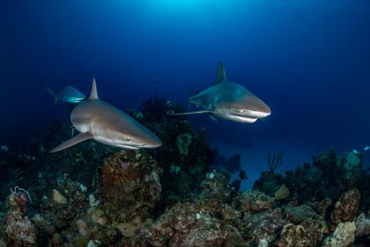 Tubarões.jpg