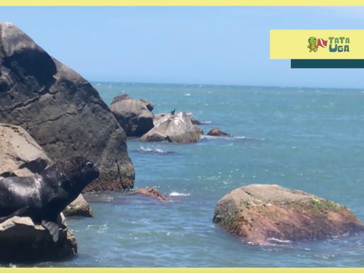 Leão Marinho avistado no sul do Brasil!