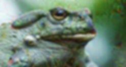 toad dmt.png