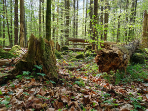 Why virgin forest is worth visiting