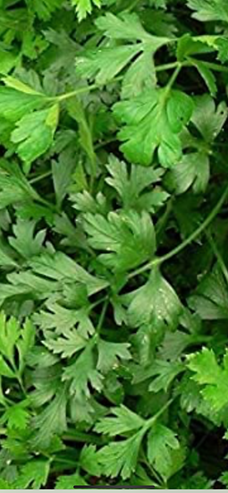 Flat leaf italian Parsley 3$ bunch