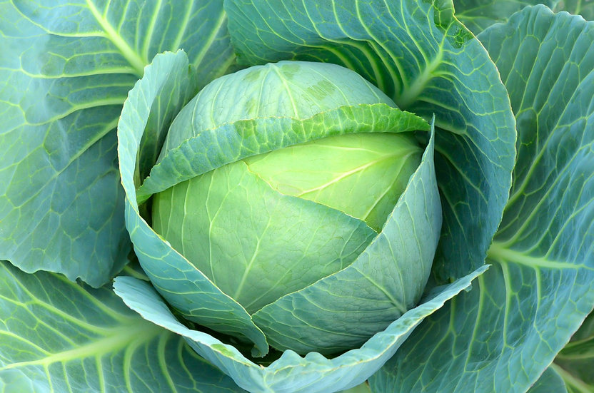 Cabbage $4.00 each