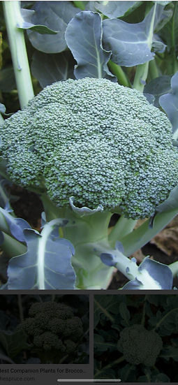 Broccoli $3.00 head