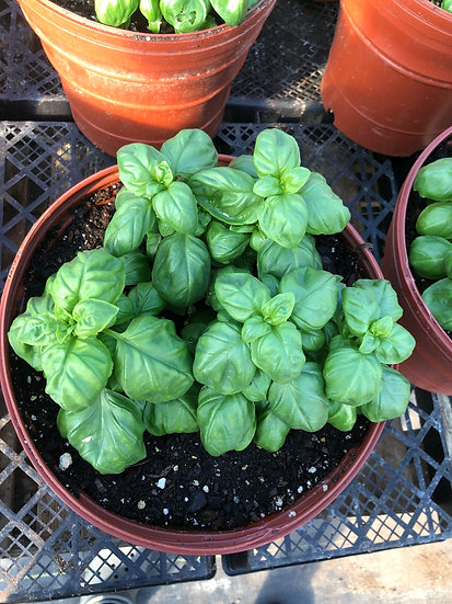 2 gallon pot basil