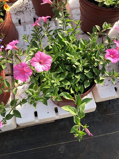 Pink petunia pot