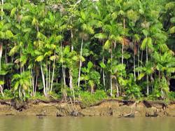 Açaí Palm Trees