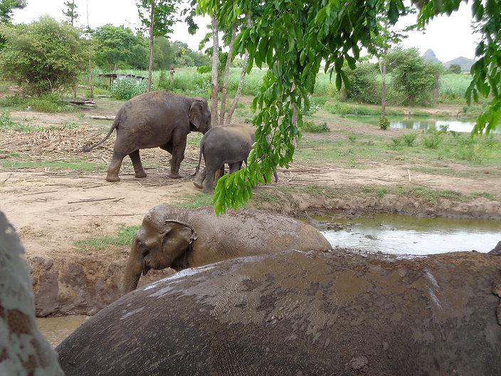 thaielephants.jpg