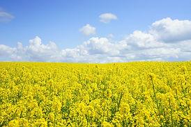 rapeseeds-474558_1920.jpg