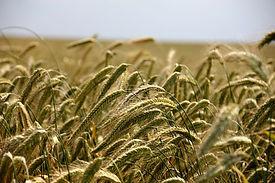 wheat-196173_1920.jpg