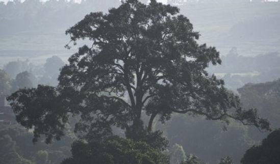 Muna-tree-Aningeria-adolfi-friederici-Ba