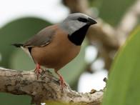 Black-throated finch.jpg