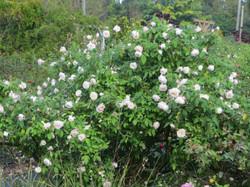Spice-Bermuda Mystery Rose