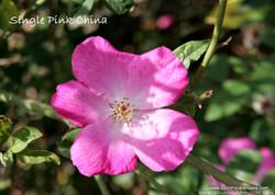 single pink china