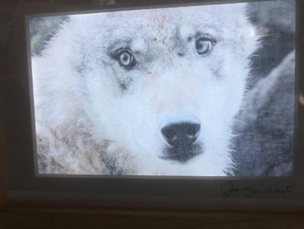 closeupwolf.jpeg