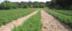 Champs de culture d'herbes aromatiques