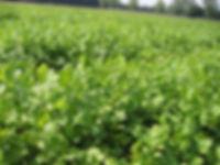 Champs d'herbes aromatiques